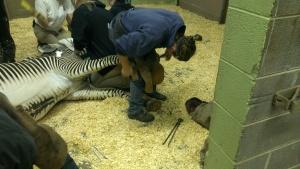 Zebra bekappen